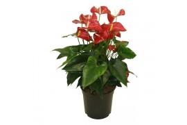 Anthurium andr. karma red sierra in ciotola x2