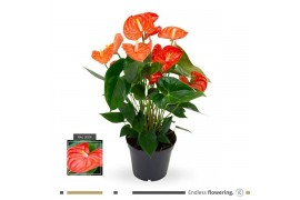 Anthurium andr. karma orange matiz x6