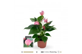 Anthurium andr. karma pink joli x12