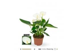 Anthurium andr. elido x12