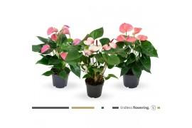 Anthurium andr. misto pink x10