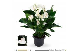 Anthurium andr. karma white