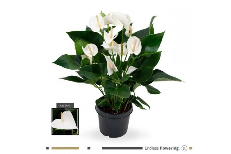 Anthurium andr. karma white
