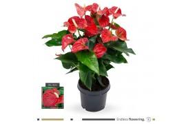 Anthurium andr. karma red sierra x3