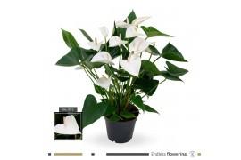 Anthurium andr. white winner x6