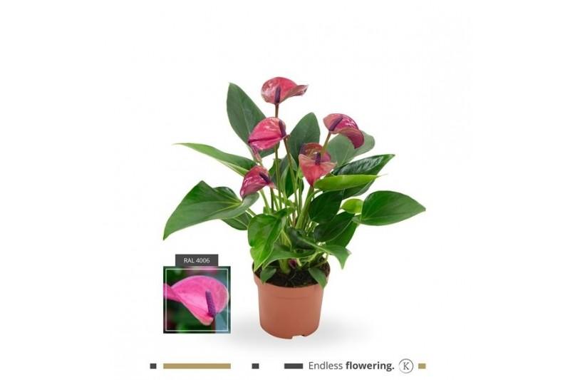 Anthurium andr. karma purple x12