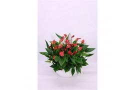 Anthurium andr. karma million flowers red x2