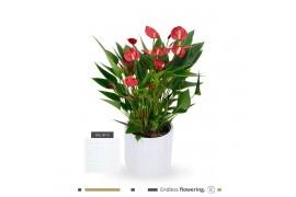 Anthurium andr. karma million flower mfconcrete16 in concrete x4