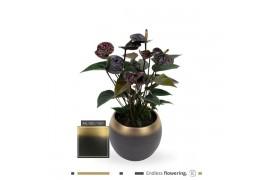 Anthurium andr. karma black blackp18 x3