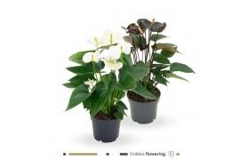 Anthurium andr. misto black and white x6
