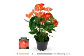 Anthurium andr. sierra orange x6