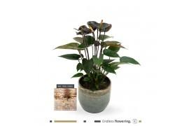 Anthurium andr. karma black blackchique x3
