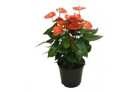 Anthurium andr. karma orange x2