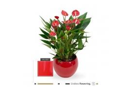Anthurium andr. karma million flower mf-lisared-18 x3