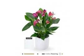 Anthurium andr. karma purple btn13wht12pur concrete ceramica x4