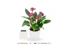 Anthurium andr. karma purple cnd10cre09pur creme ceramica x8