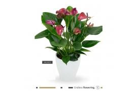 Anthurium andr. karma purple cln13whi12pur bianco ceramica x6