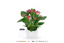 Anthurium andr. karma purple lsn18whi12pur bianco bulbo ceramica x3