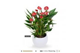Anthurium andr. karma million flower mf-lisawit-18 bianco bulbo ceramica x3