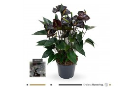 Anthurium andr. karma black x6