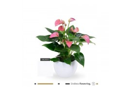 Anthurium andr. karma pink jl-lisawit-18 bianco lisa ceramica x3
