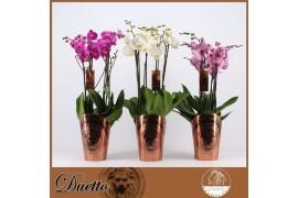 Phalaenopsis misto duetto 5 ramo 50+ x5