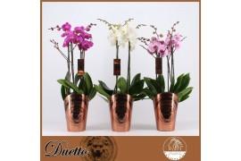 Phalaenopsis misto duetto 4 ramo 40+ x5
