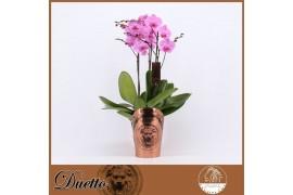 Phalaenopsis rosa duetto 3 ramo 30+ x5