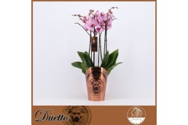 Phalaenopsis rosa duetto 4 ramo 40+ 70cm x5