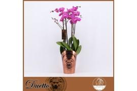 Phalaenopsis viola duetto 4 ramo 40+ 70cm x5