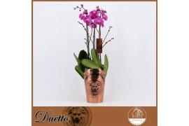 Phalaenopsis viola duetto 3 ramo 30+ 70cm x5