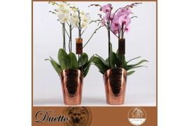 Phalaenopsis misto duetto bianco / rosa x5