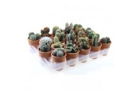 Cactus misto 681 in terracotta x20