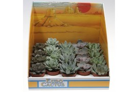 Echeveria misto 1055 in scatola decorativa x20