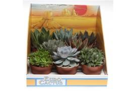 Succulenten misto 1025 in show scatola x8
