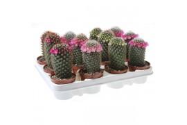 Cactus misto strobloem 177 x12