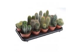 Cactus misto x10