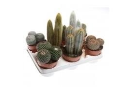 Cactus misto x8