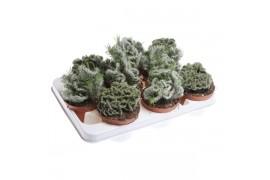 Cactus misto x9