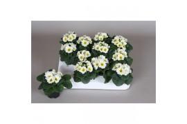 Primula acaulis bianco piccolo x20