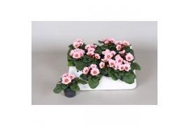 Primula acaulis chiaro rosa piccolo x12