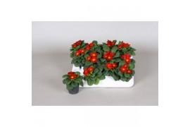 Primula acaulis rosso piccolo x12