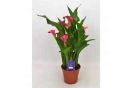 Zantedeschia pink jewel x8