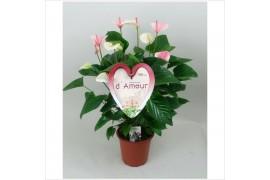 Anthurium andr. fantasy love