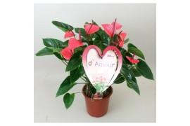 Anthurium andr. pink love