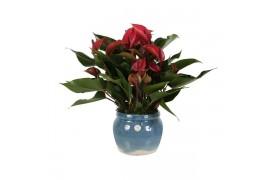 Anthurium andr. misto 260 in bordeaux ceramica x4