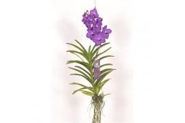 Vanda violet blue 299 x3