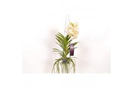 Vanda tayanee white x4