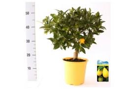 Citrus limequat stem new citrus limequat on stem ''new''