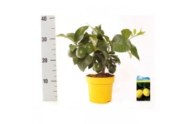 Citrus lemon bush young green fruit citrus lemon mini-stem x6